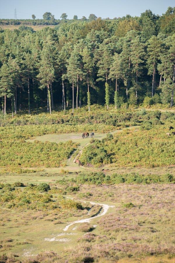 Дикие лошади пася на общественной тропе перед древесиной и кустарниками вереска в новом лесе, Великобритании стоковое изображение rf