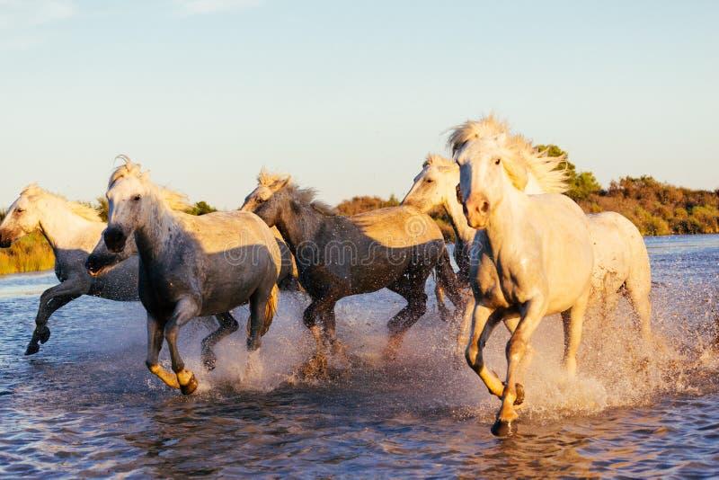 Дикие лошади Camargue бежать и брызгая на воде стоковая фотография rf