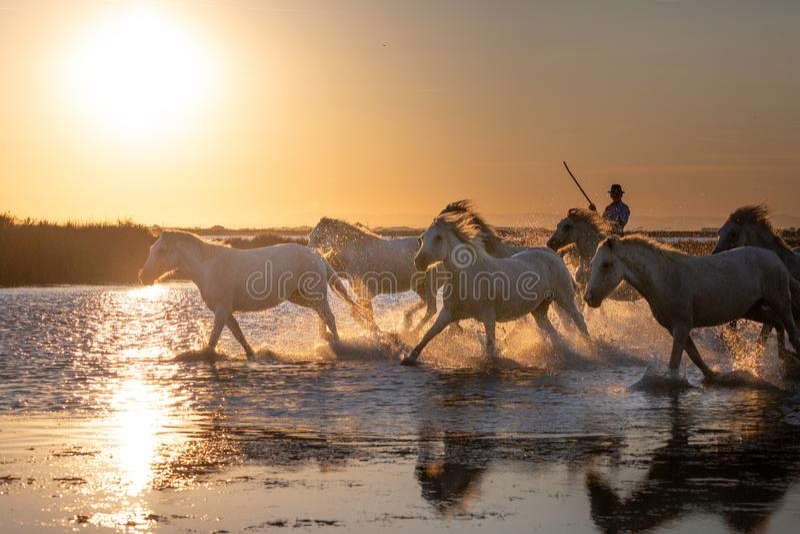 Дикие лошади Camargue бежать и брызгая на воде стоковое изображение