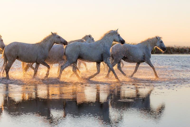 Дикие лошади Camargue бежать и брызгая на воде стоковые изображения