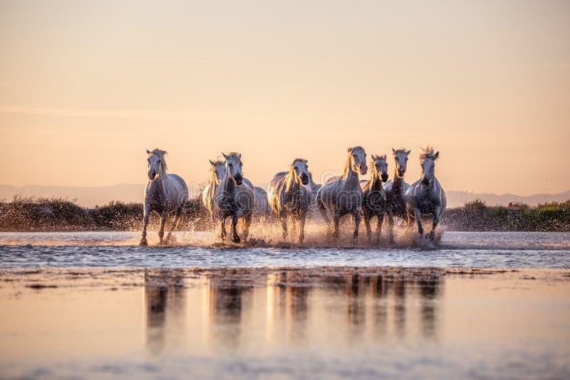 Дикие лошади Camargue бежать и брызгая на воде стоковые изображения rf