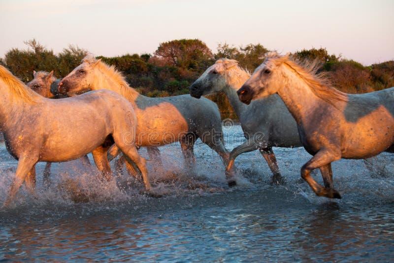 Дикие лошади Camargue бежать и брызгая на воде стоковое изображение rf