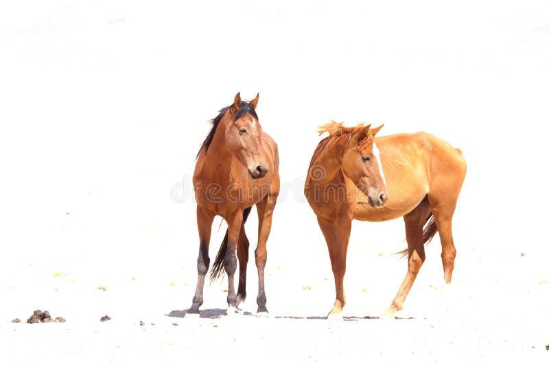 Дикие лошади Namib 2 стоковые изображения rf