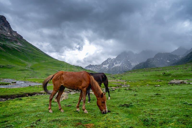 Дикие лошади pasturing в красивом государстве Кашмира горного вида, Индии стоковая фотография rf