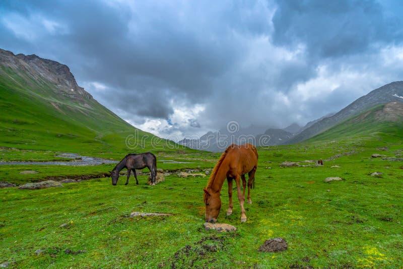 Дикие лошади pasturing в красивом государстве Кашмира горного вида, Индии стоковая фотография