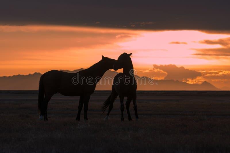 Дикие лошади Silhouetted на заходе солнца в пустыне стоковые изображения rf