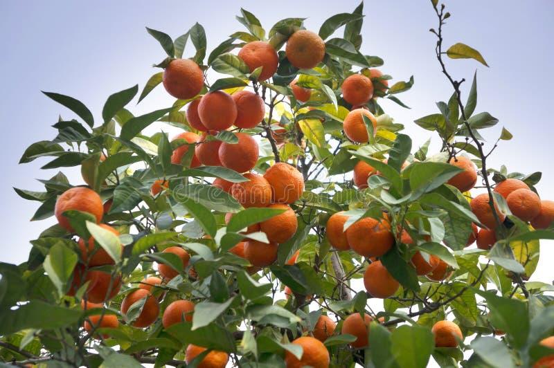 Дикие мандарины на улице стоковое изображение