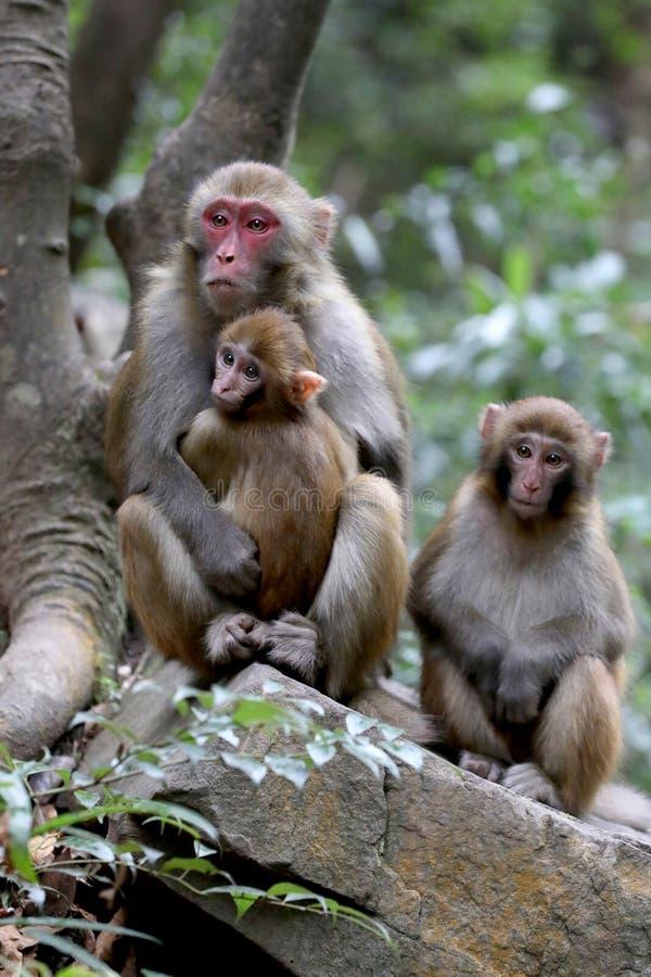 Дикие обезьяны резуса живя в национальном парке Китае Zhangjiajie стоковое фото