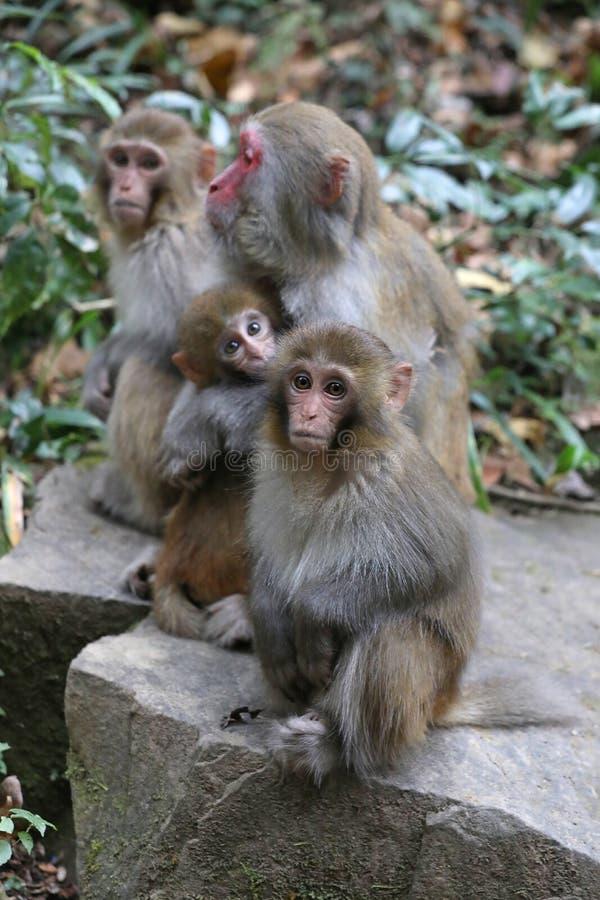 Дикие обезьяны резуса живя в национальном парке Китае Zhangjiajie стоковое фото rf