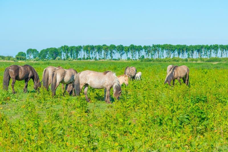Дикие лошади в луге в заболоченном месте весной стоковые изображения