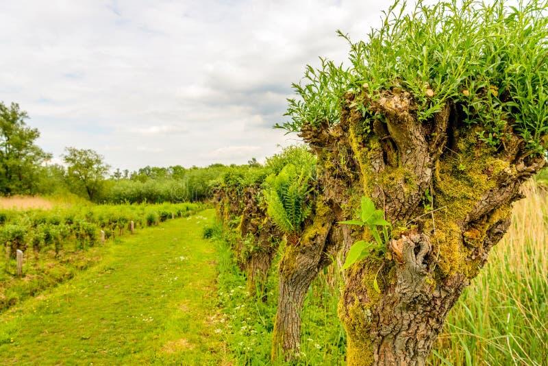Дикие растения растя в старых деревьях вербы Полларда стоковая фотография