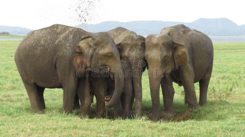 Дикие слоны в национальном парке Шри-Ланка Minneriya стоковое фото rf