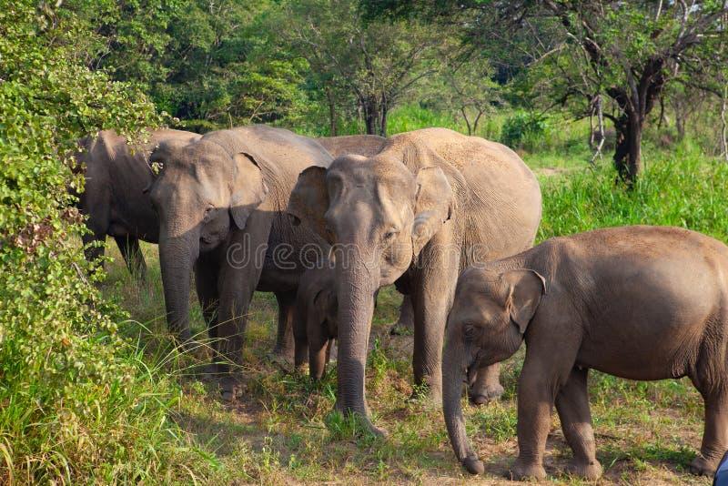 Дикие слоны есть траву, парк Hurulu Eco, Шри-Ланка стоковое фото