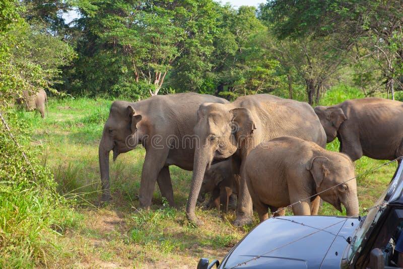 Дикие слоны есть траву, парк Hurulu Eco, Шри-Ланка стоковая фотография
