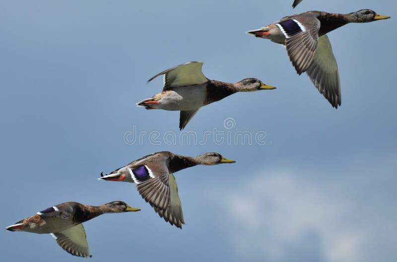 Дикие утки над озером Balaton стоковое фото rf