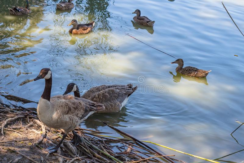 Дикие утки плавая в озере на солнечном после полудня стоковое фото