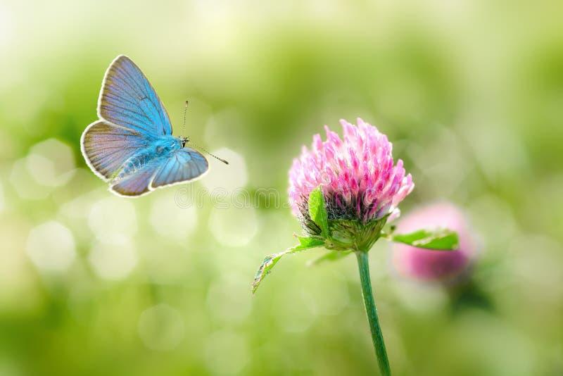Дикие цветки клевера и голубой макрос бабочки стоковое фото