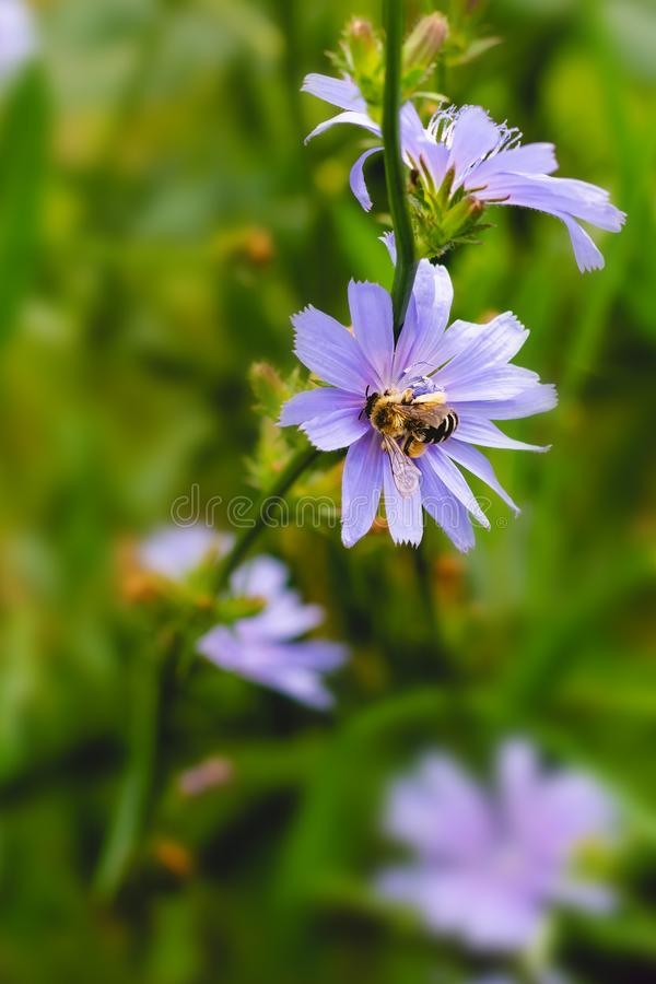 Дикие цветочные цветы в поле с небольшой пчелой, лекарственные травы для здравоохранения стоковое фото rf