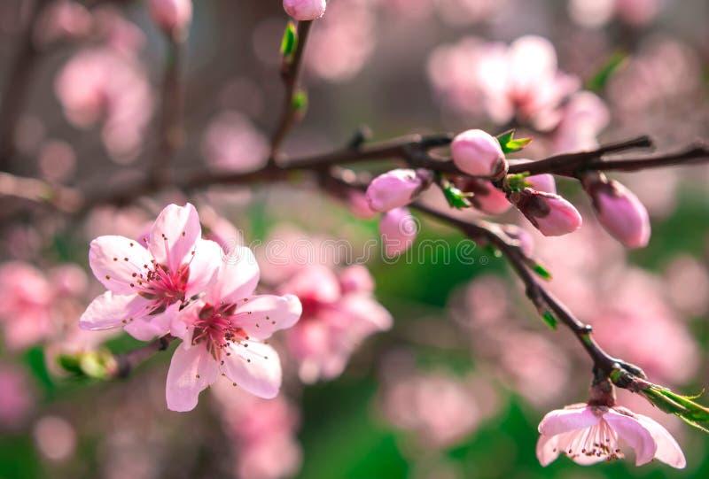 Дикие цветы сакуры стоковое фото rf