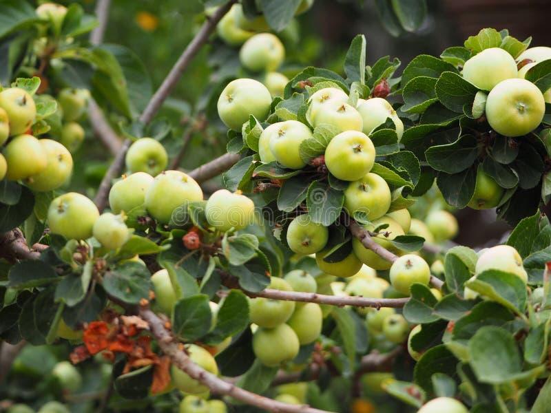 Дикие яблоки в пруде ivars и vila sana, Испании стоковая фотография