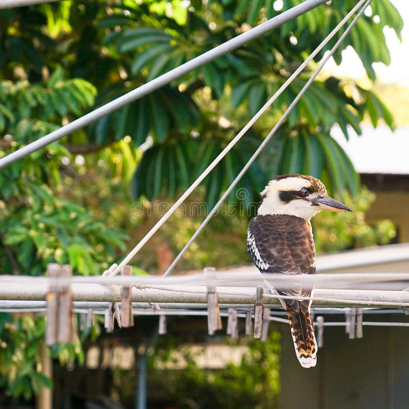 Дикие kookaburras в Квинсленде стоковое изображение rf