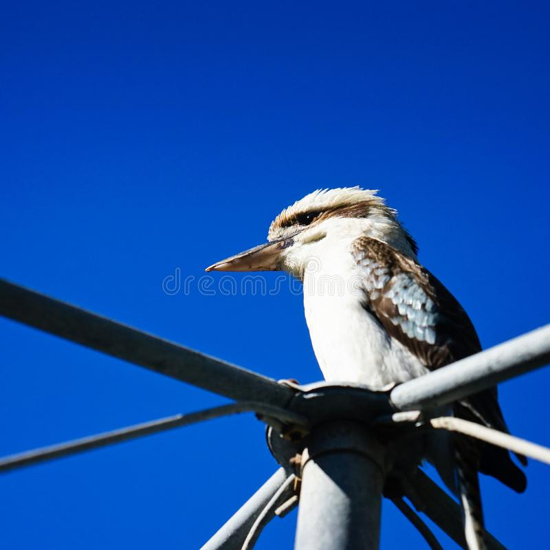 Дикие kookaburras в Квинсленде стоковые фотографии rf