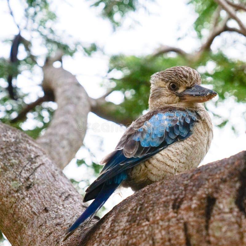 Дикие kookaburras в Квинсленде стоковые изображения rf