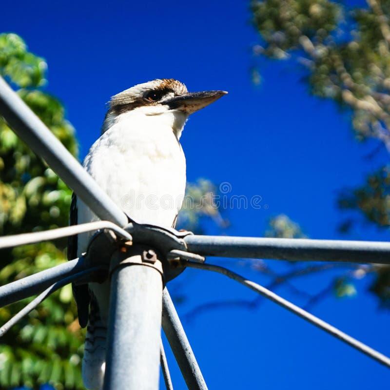 Дикие kookaburras в Квинсленде стоковая фотография