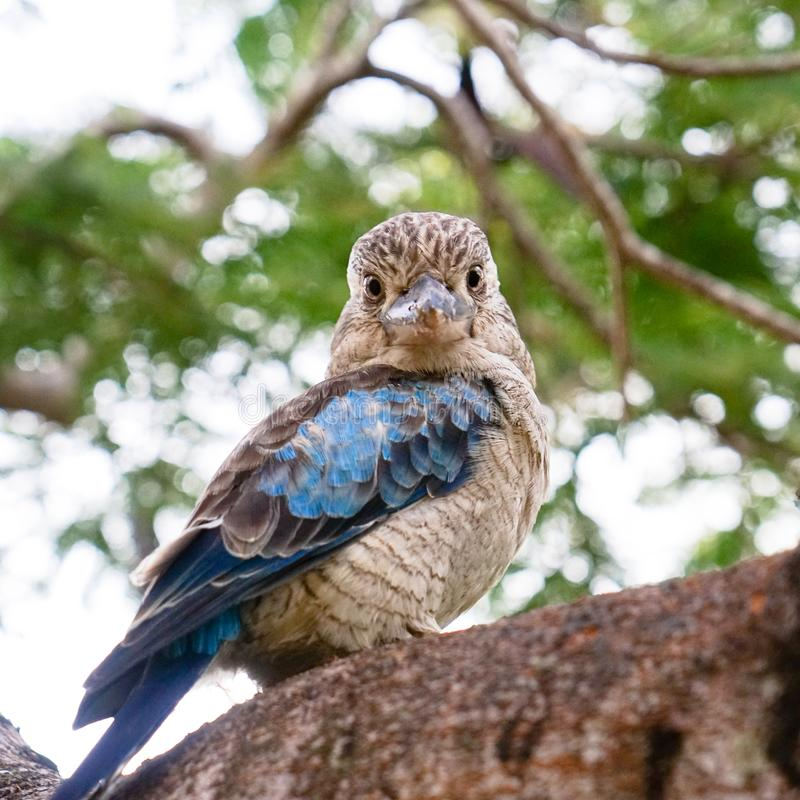 Дикие kookaburras в Квинсленде стоковые фото
