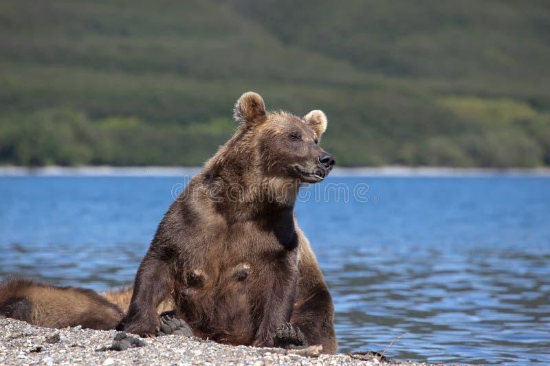 Дикий бурый медведь ослабить на пляже озера курил стоковое изображение