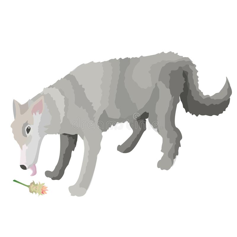 Дикий волк обнюхивая цветок турмерина иллюстрация вектора