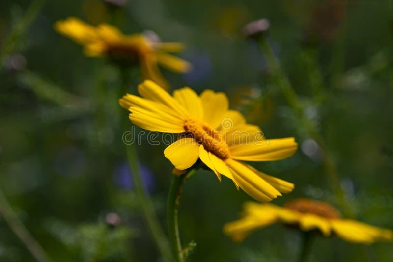 Дикий желтый конец головы цветка хризантемы вверх на темной запачканной предпосылке стоковое изображение rf