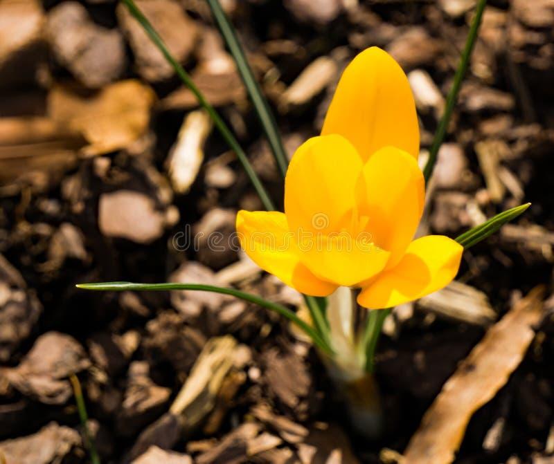 Дикий желтый Wildflower крокуса на поле леса стоковое фото
