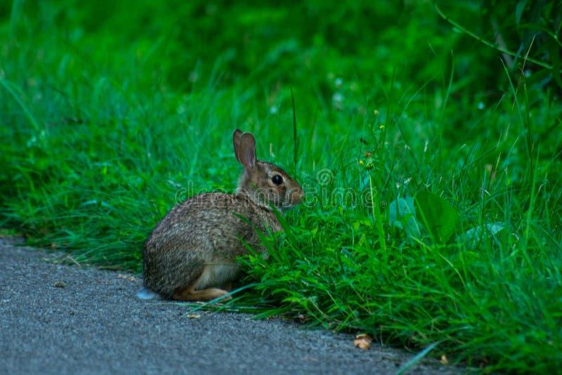 Дикий и очень милый кролик стоковые изображения rf