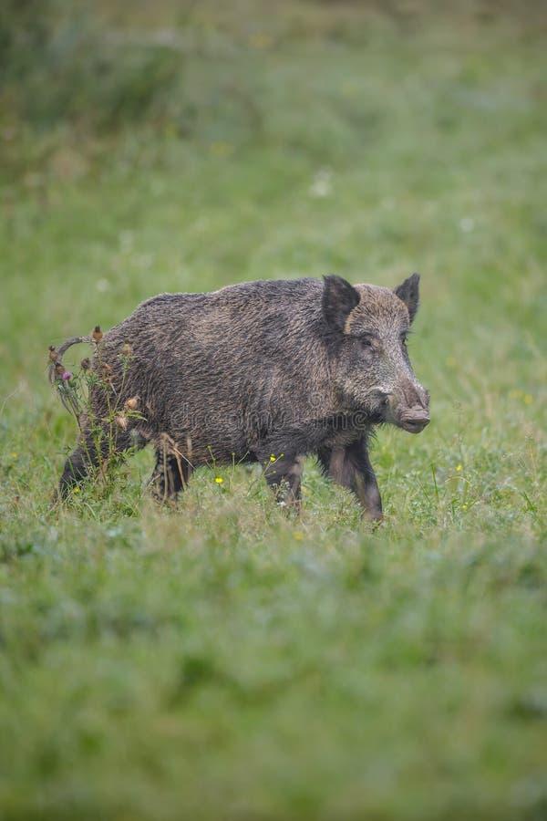 Дикий кабан в траве утра стоковое фото rf
