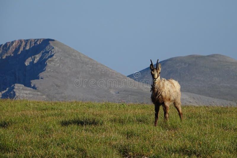 Дикий козёл на знаменитом горном Олимпе, Греция стоковое фото rf
