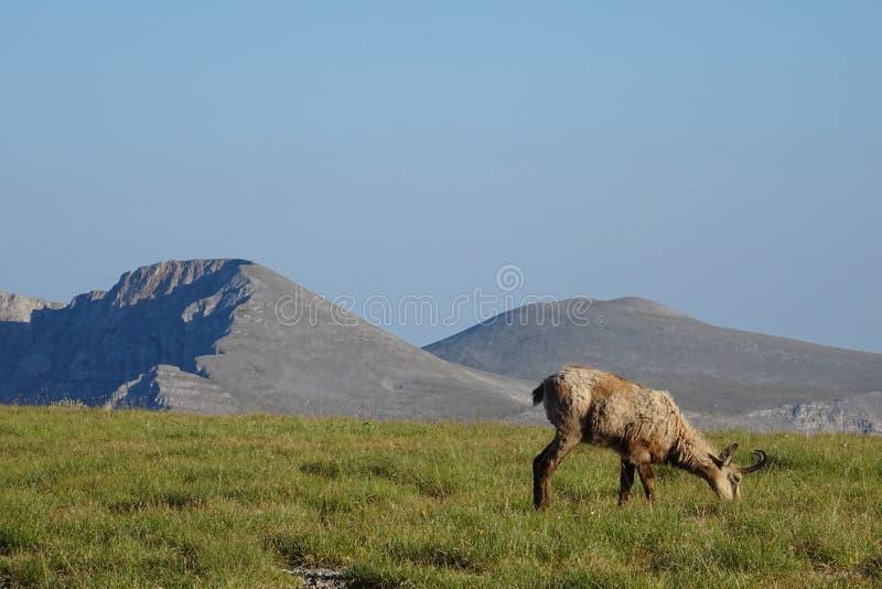 Дикий козёл на знаменитом горном Олимпе, Греция стоковые изображения