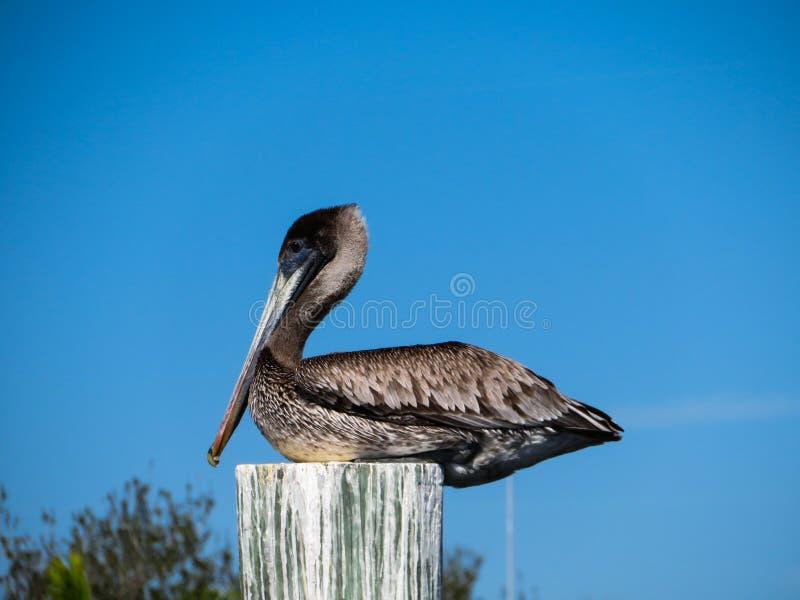 Дикий коричневый пеликан сидя на деревянном поляке стоковое фото