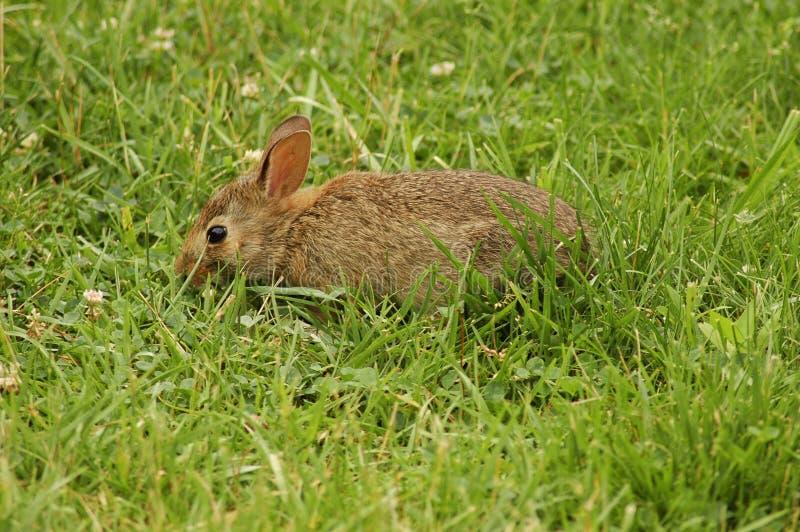 Дикий кролик стоковая фотография rf