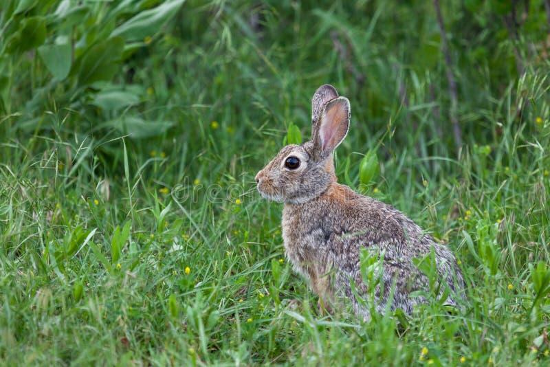 Дикий кролик зайчика стоковая фотография rf