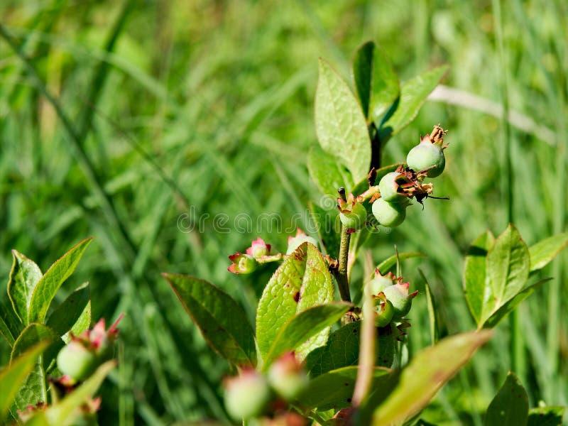 Дикий куст голубики в лесе Минесоты с предыдущими незрелыми зелеными ягодами стоковые фото