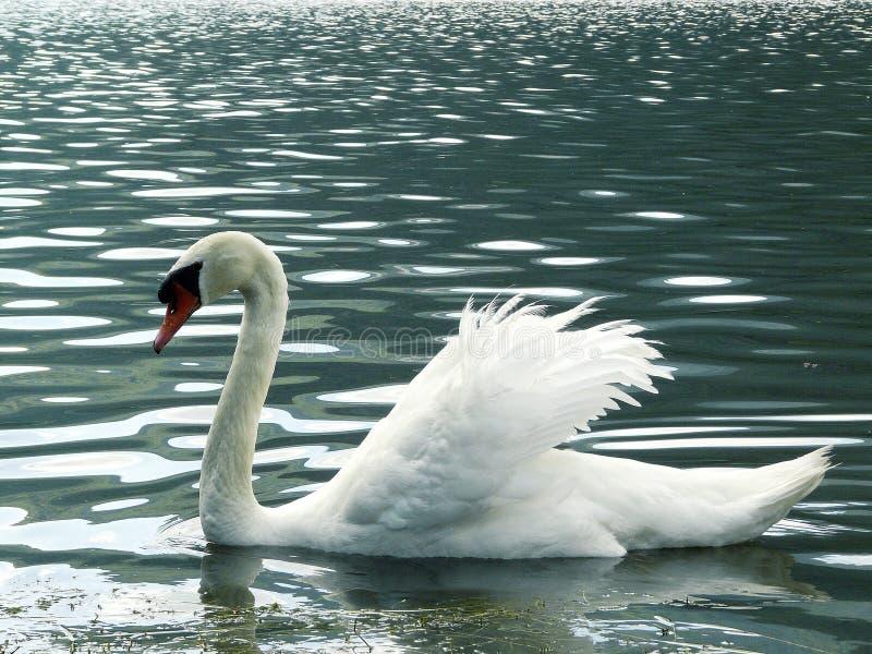 Дикий лебедь плавая в озере горы стоковое фото