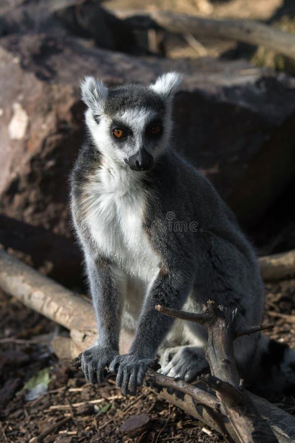 Дикий лемур в Мадагаскаре в Африке стоковая фотография rf