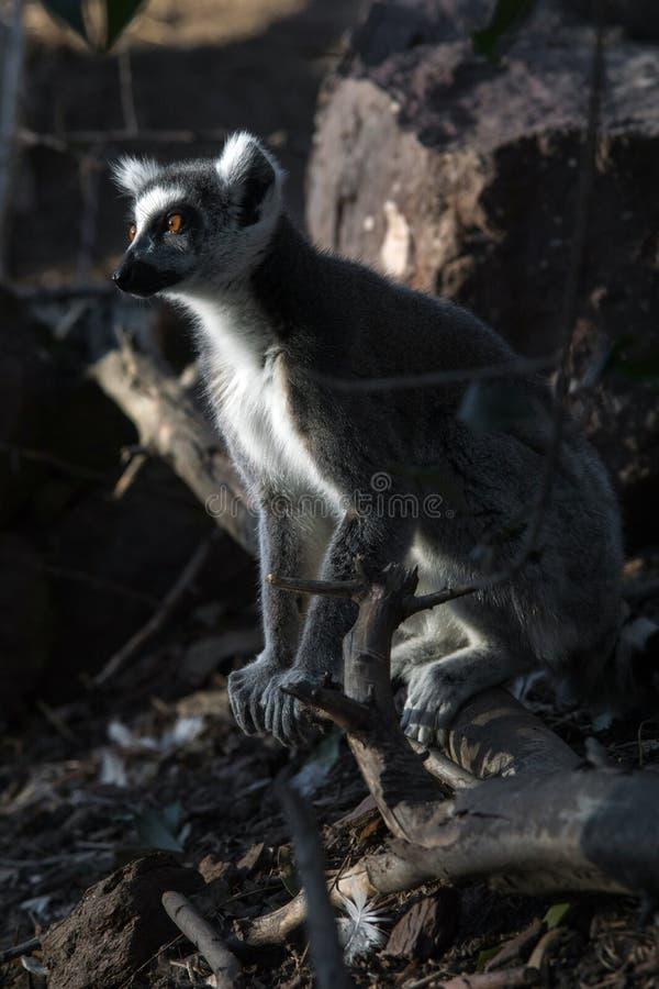 Дикий лемур в Мадагаскаре в Африке стоковое фото rf