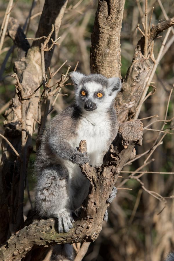 Дикий лемур в Мадагаскаре в Африке стоковые фотографии rf