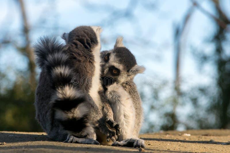Дикий лемур в Мадагаскаре в Африке стоковое изображение rf