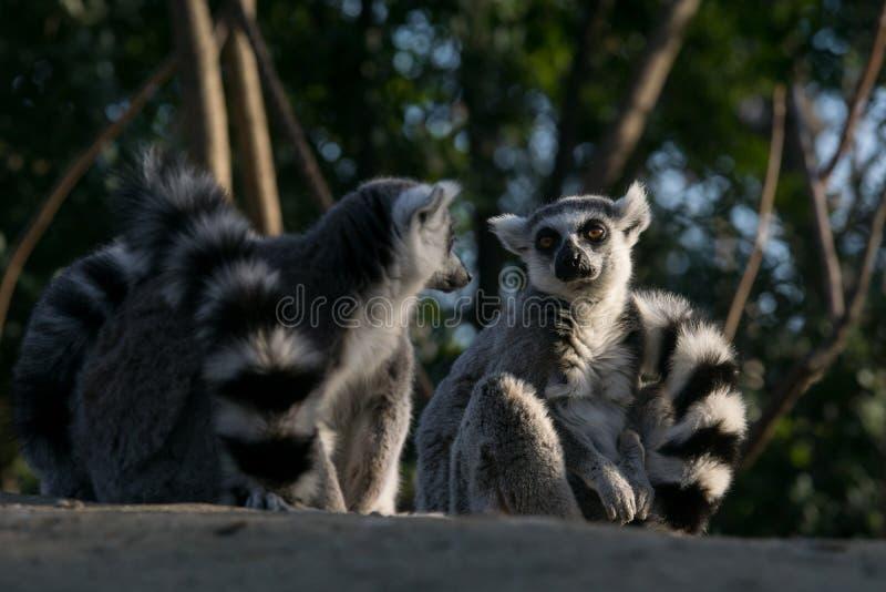 Дикий лемур в Мадагаскаре в Африке стоковые изображения