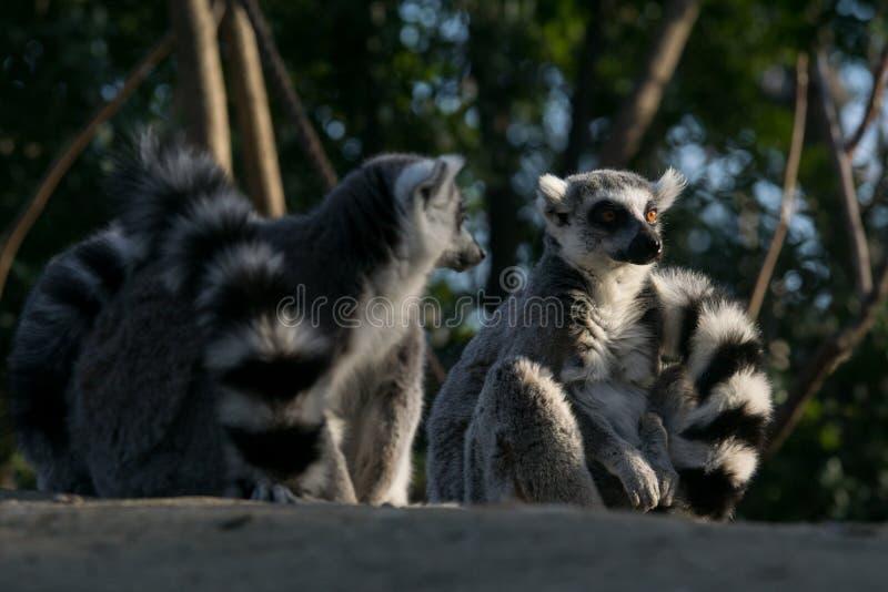 Дикий лемур в Мадагаскаре в Африке стоковое изображение