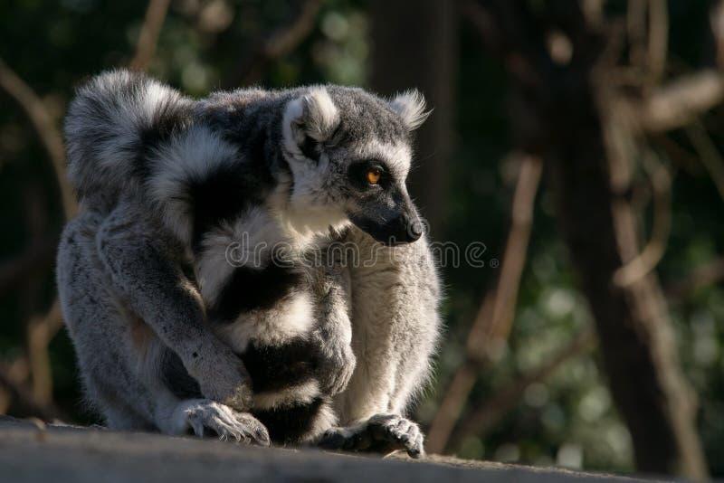Дикий лемур в Мадагаскаре в Африке стоковые фото