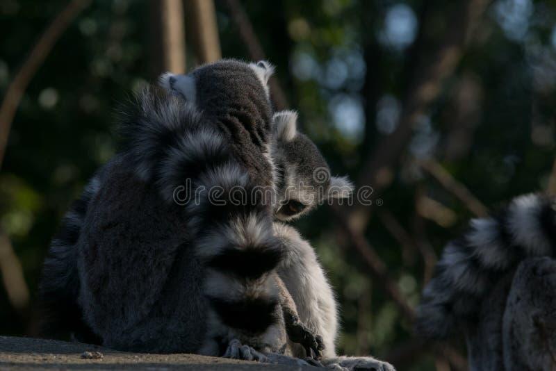 Дикий лемур в Мадагаскаре в Африке стоковые изображения rf